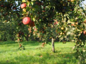 apple-693995_1920